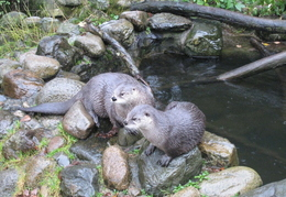 Otters @ The Sealife Centre